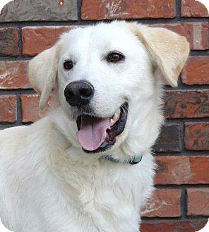 Golden Retriever/Labrador Retriever Mix Dog for adoption in Westport, Connecticut - *Marley - PENDING