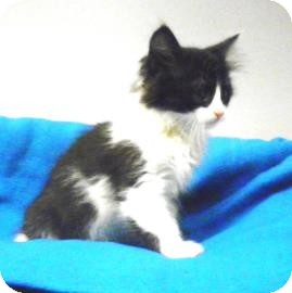 Domestic Shorthair Kitten for adoption in Lincolnton, North Carolina - Thor