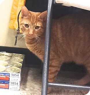 Domestic Shorthair Cat for adoption in Colmar, Pennsylvania - Toby