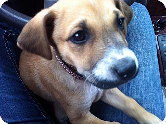 Labrador Retriever/Boxer Mix Puppy for adoption in Brattleboro, Vermont - FREDDIE