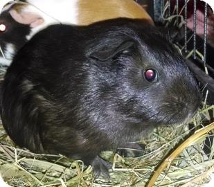 Guinea Pig for adoption in Lowell, Massachusetts - Beatrix