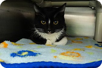 Domestic Shorthair Cat for adoption in Elyria, Ohio - Filbert