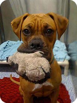 Boxer Puppy for adoption in El Cajon, California - Goober