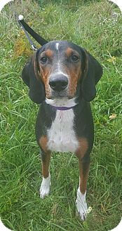Hound (Unknown Type)/Doberman Pinscher Mix Dog for adoption in Spring City, Pennsylvania - LuLu