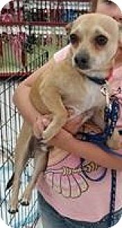 Chihuahua Mix Dog for adoption in Gainesville, Florida - Jasper