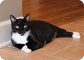 Domestic Shorthair Cat for adoption in Carlisle, Pennsylvania - Jozy