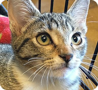 Domestic Shorthair Kitten for adoption in Winchester, California - Autumn