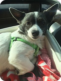 Toy Fox Terrier/Chihuahua Mix Dog for adoption in Palm Harbor, Florida - Pikachu