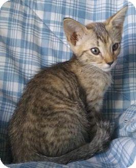 Domestic Shorthair Kitten for adoption in Gilbert, Arizona - Belle Rose