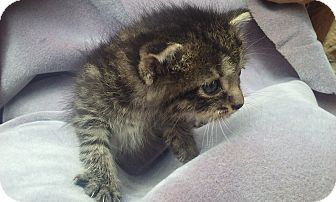 Domestic Shorthair Kitten for adoption in Columbus, Ohio - Lively, Loving Namie