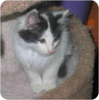 Domestic Longhair Kitten for adoption in Davis, California - Oliver