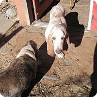 Adopt A Pet :: Flash Dallas - Albuquerque, NM