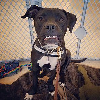 Bulldog Mix Dog for adoption in Palm Springs, California - Jaxson