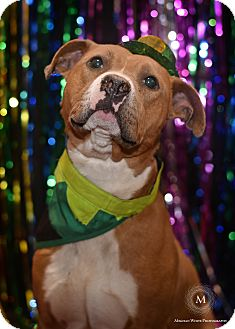 American Staffordshire Terrier Mix Dog for adoption in St. Louis, Missouri - Carver