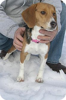 Beagle Dog for adoption in Winfield, Pennsylvania - Lily Rose