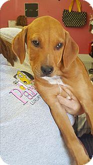 Redbone Coonhound/Labrador Retriever Mix Puppy for adoption in Palm Bay, Florida - Kalieh