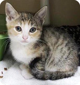 Domestic Shorthair Kitten for adoption in Lincolnton, North Carolina - Bristol $20
