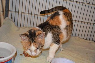 Domestic Shorthair Cat for adoption in Cambridge, Maryland - Frieda Camper