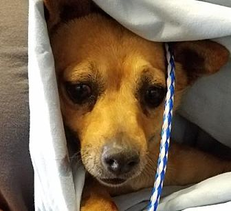 Chihuahua Mix Dog for adoption in Fresno CA, California - Woody