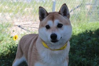Shiba Inu Mix Dog for adoption in Colorado Springs, Colorado - Zoey