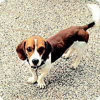 Adopt A Pet :: Hayden - Houston, TX