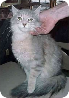 Domestic Longhair Cat for adoption in North Judson, Indiana - Princess