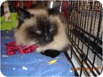 Ragdoll Cat for adoption in Riverside, Rhode Island - Blossom