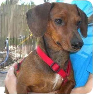 Dachshund Dog for adoption in Humble, Texas - JR