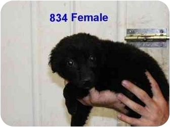 Labrador Retriever/Labrador Retriever Mix Puppy for adoption in Rochester, New Hampshire - Abbey