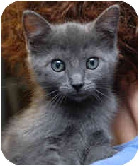 Domestic Shorthair Kitten for adoption in Milton, Massachusetts - Tomassina