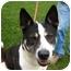 Photo 2 - Akita/Siberian Husky Mix Dog for adoption in San Clemente, California - MOLLY