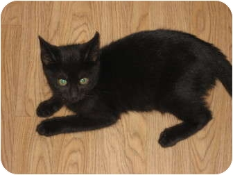 Domestic Shorthair Kitten for adoption in Huffman, Texas - Hermione