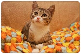 Domestic Shorthair Kitten for adoption in Sterling Heights, Michigan - Nutmeg - ADOPTED!