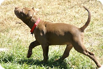 American Pit Bull Terrier Mix Puppy for adoption in Encino, California - Guthrie