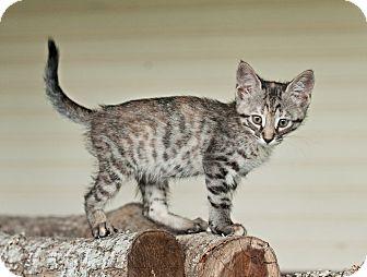 Domestic Shorthair Kitten for adoption in Carencro, Louisiana - Jane