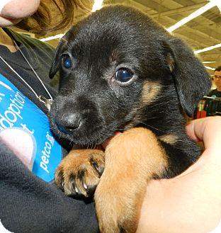 Australian Cattle Dog Mix Puppy for adoption in Birmingham, Michigan - Pixie