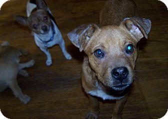 Boxer Mix Puppy for adoption in Greensboro, Georgia - Skip