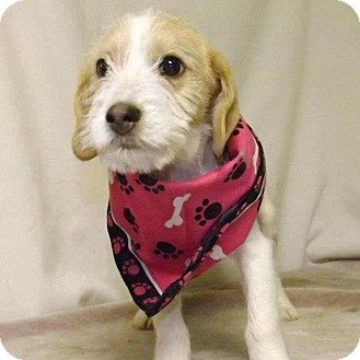 Terrier (Unknown Type, Small) Mix Puppy for adoption in Shirley, New York - January
