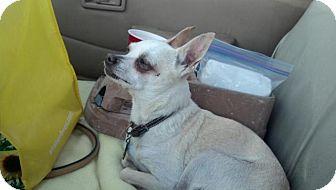 Chihuahua Mix Dog for adoption in Creston, California - Chico
