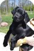 Labrador Retriever Mix Puppy for adoption in Salem, Massachusetts - Kenny