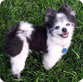 Pomeranian Dog for adoption in Owatonna, Minnesota - Nika