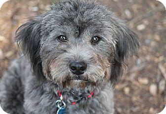 Schnauzer (Standard)/Wheaten Terrier Mix Dog for adoption in Austin, Texas - Whiskey