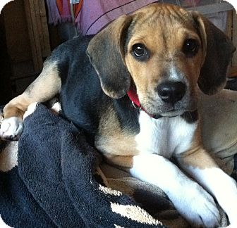 Beagle Mix Puppy for adoption in Richmond, Virginia - Rosey