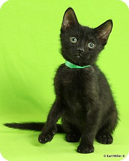 Domestic Shorthair Kitten for adoption in Las Vegas, Nevada - Humphrey