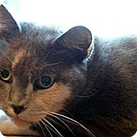 Domestic Shorthair Cat for adoption in Palm City, Florida - Nadya