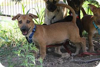 Chihuahua Mix Puppy for adoption in Gloucester, Massachusetts - Simba