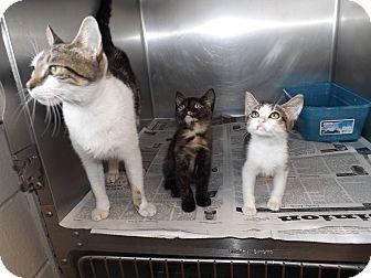 Domestic Mediumhair Cat for adoption in Thomaston, Georgia - Kitten Kaboodle