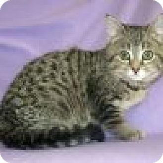 Domestic Shorthair Cat for adoption in Powell, Ohio - Willie