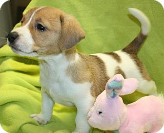 Beagle Mix Puppy for adoption in Cottageville, West Virginia - Leelo