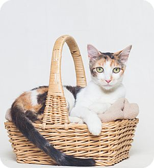 Calico Cat for adoption in Redding, California - Clara, adoption fee $25